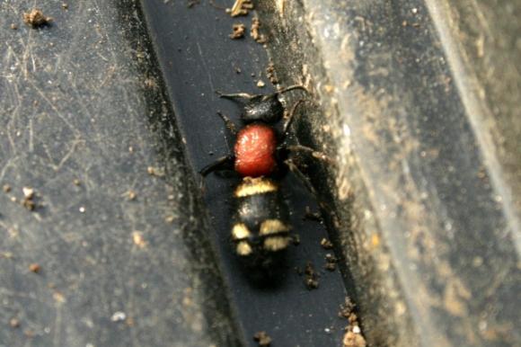 Large Velvet 'Ant', Mutila europaea