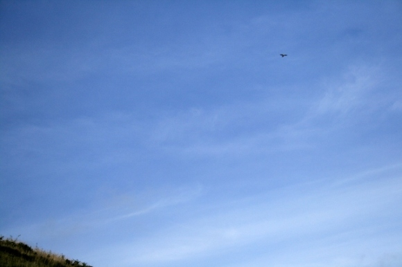 Kestrel (top right) hovering on hillside by Falmer Bottom