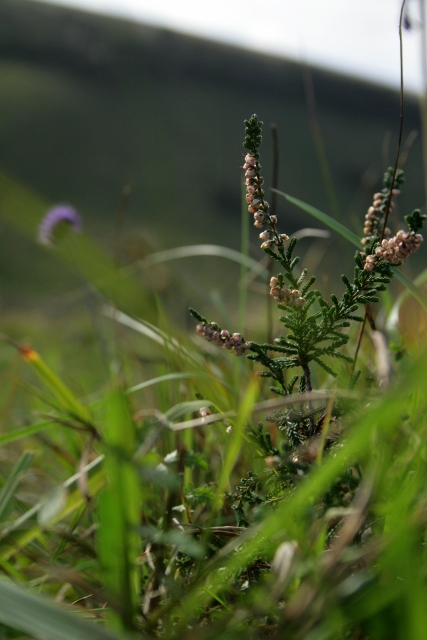 Heather, Calluna vulgaris, Castle Hill NNR
