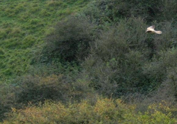 Hunting kestrel over Newmarket Bottom