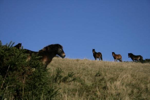 Exmoor ponies Castle Hill NNR