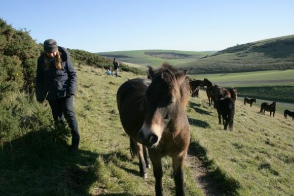 Exmoor ponies, Castle Hill NNR