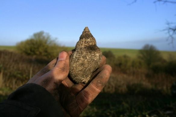 Large whelk shell